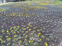 Gebied van pansies in geel en blauw royalty-vrije stock afbeelding