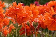 Gebied van papaverbloemen Stock Afbeeldingen