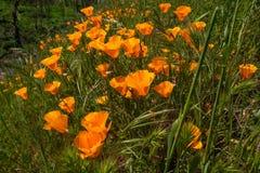 Gebied van Papaverbloemen, de Super Bloei van Californië royalty-vrije stock fotografie