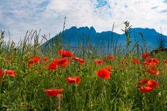 Gebied van papavers, de berg op de achtergrond Stock Afbeelding