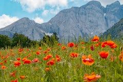 Gebied van papavers, de berg op de achtergrond Royalty-vrije Stock Foto