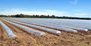 Gebied van plantaardige die gewassen in rijen met de bescherming van polytheenglazen kappen worden behandeld Stock Afbeeldingen