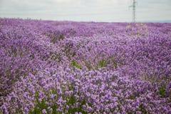 Gebied van purpere lavendel stock afbeeldingen