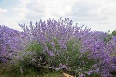 Gebied van purpere lavendel stock fotografie