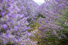 Gebied van purpere lavendel royalty-vrije stock foto's