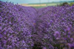 Gebied van purpere lavendel royalty-vrije stock afbeeldingen