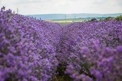 Gebied van purpere lavendel stock foto