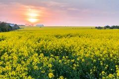 Gebied van raapzaad, koolzaadgebied met zonsondergang stock afbeelding