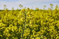 Gebied van raapzaad, oliezaad Close-up op een gecultiveerd landbouwgebied stock foto's