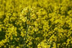 Gebied van raapzaad, oliezaad Close-up op een gecultiveerd landbouwgebied royalty-vrije stock fotografie