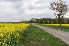 Gebied van raapzaadcanola of koolzaad met landelijke weg Stock Fotografie