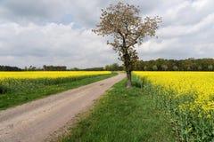 Gebied van raapzaadcanola of koolzaad met landelijke weg Stock Afbeelding