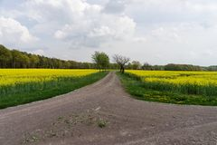 Gebied van raapzaadcanola of koolzaad met landelijke weg Stock Foto