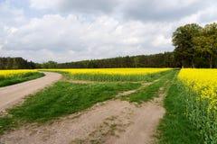 Gebied van raapzaadcanola of koolzaad met landelijke weg Stock Afbeeldingen