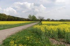 Gebied van raapzaadcanola of koolzaad met landelijke weg Royalty-vrije Stock Fotografie