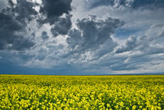 Gebied van raapzaden met een grote stormachtige hemel royalty-vrije stock fotografie