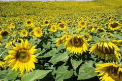 Gebied van Reuzezonnebloemen royalty-vrije stock fotografie