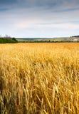 Gebied van rijpe tarwe en hemel Royalty-vrije Stock Foto's