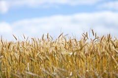 Gebied van rijpe tarwe tegen blauwe hemel stock foto's