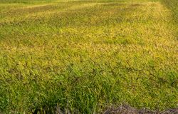 Gebied van rijst Stock Foto