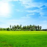 Gebied van rijst en zonsondergang Royalty-vrije Stock Fotografie