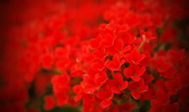 Gebied van rode bloemen voor uw Valentijnskaart Royalty-vrije Stock Foto