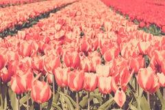 Gebied van rode en gestreepte tulpen Stock Fotografie