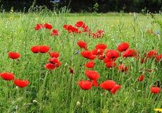 Gebied van rode papavers Royalty-vrije Stock Foto's