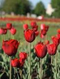 Gebied van rode tulpen stock foto