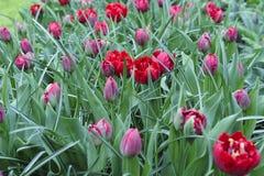 Gebied van rode tulpen royalty-vrije stock afbeeldingen
