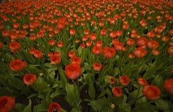 Gebied van rode tulpen Royalty-vrije Stock Foto