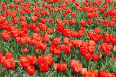 Gebied van rode tulpen in de lente stock afbeeldingen