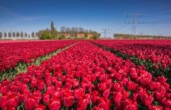 Gebied van rode tulpen en een huis stock foto's