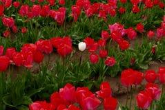 Gebied van rode tulpen met één witte  Stock Fotografie
