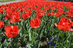 Gebied van rode tulpen op hun laatste dagen stock foto