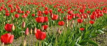 Gebied van rode tulpenbloemen Stock Afbeeldingen