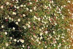 Gebied van rode Witte roze geelgroen van bloemenfieldflowers royalty-vrije stock afbeelding