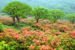 Gebied van Rododendrons Stock Fotografie