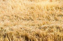 Gebied van rogge met afgeschuinde stroken tijdens het oogsten Landelijke de zomerlandbouw Stro van afgeschuinde tarwe Achtergrond Stock Afbeelding