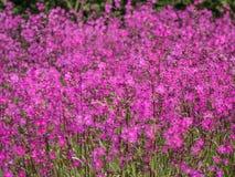 Gebied van roze bloemen Stock Foto