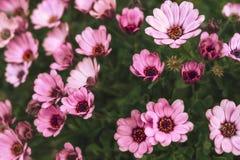Gebied van roze bloemen stock foto's