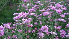 Gebied van roze bloemen in tuin stock video