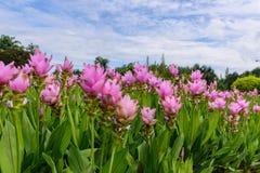 Gebied van Roze de tulpenbloem van Siam of Kurkumaalismatifolia met hemel en wolken Royalty-vrije Stock Afbeeldingen