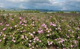 Gebied van roze rozen Royalty-vrije Stock Foto's