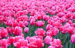 Gebied van roze tulpen Stock Foto