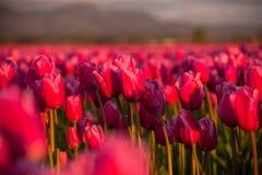 Gebied van Roze Tulpen bij Zonsondergang Royalty-vrije Stock Foto's