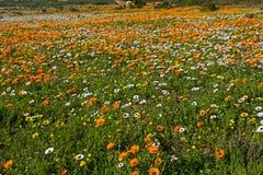 Gebied van sinaasappel en margrietwildflowers stock afbeeldingen
