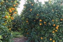 Gebied van sinaasappelen stock afbeelding