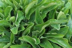 Gebied van smeerwortel in de aard royalty-vrije stock foto's