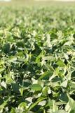 Gebied van sojabonen - sluit omhoog royalty-vrije stock foto's